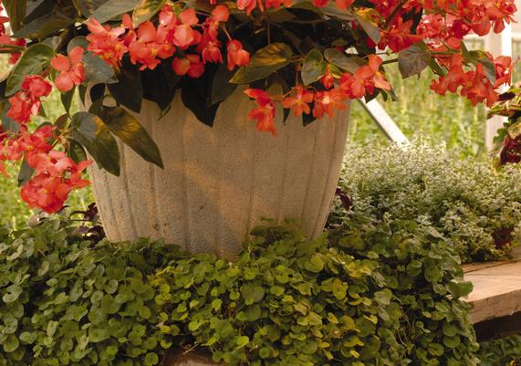 Begonia Container