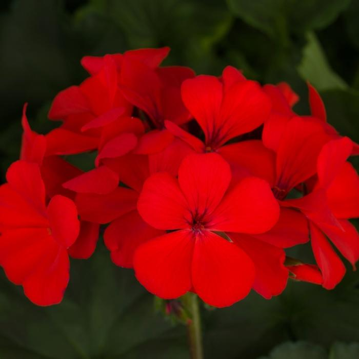 Geranium Caliente® Orange